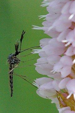 240px-Ochlerotatus.punctor.male