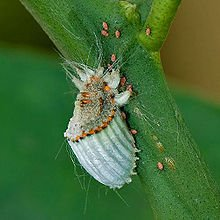 220px-Scale_insect