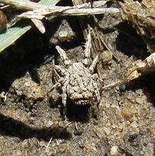 Predatory_rake_mite_(Caeculidae),_Uniondale,_South_Africa_-_20101016