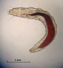 220px-Flea_Larva