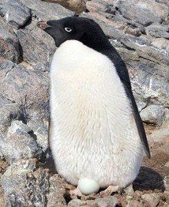 290px-Manchot_Adelie_-_Adelie_Penguin