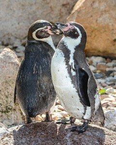 290px-Spheniscus_humboldti_(Humboldt-Pinguine_-_Humboldt_Penguins)_-_Weltvogelpark_Walsrode_2013-01