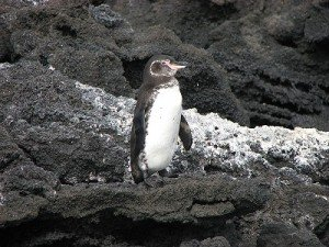 800px-Galápagos_Penguin_(Spheniscus_mendiculus)_-standing_on_rock