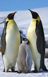 Aptenodytes_forsteri_-Snow_Hill_Island,_Antarctica_-adults_and_juvenile-8