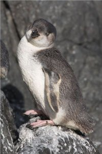 White-flippered_Penguin_-standing_on_rocks
