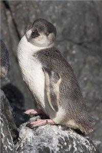 White-flippered_Penguin_-standing_on_rocks