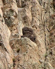 220px-Golden_Eagle_Nest_(Aquila_chrysaetos)