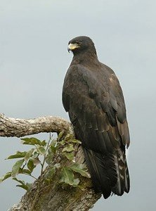 290px-Black_eagle