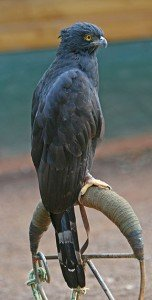 290px-Black_Hawk-Eagle