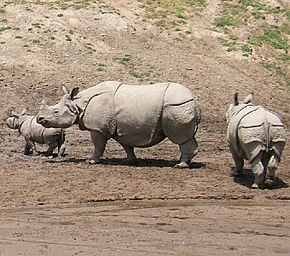 290px-Indian_Rhinoceros