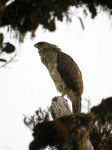 290px-New_Guinea_Eagle