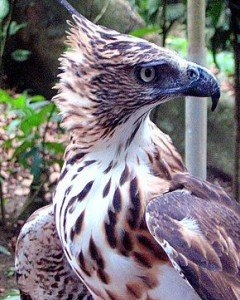 290px-Philippine_Hawk-eagle