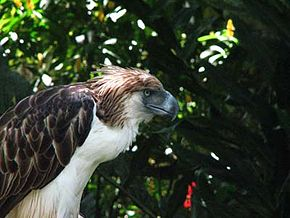 290px-Sir_Arny(Philippine_Eagle)