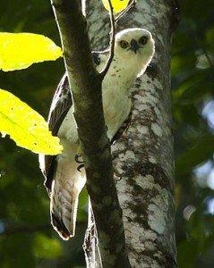 290px-Sulawesi-hawk_eagle