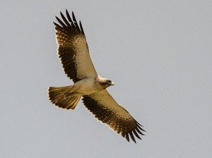 Booted_eagle_in_flight