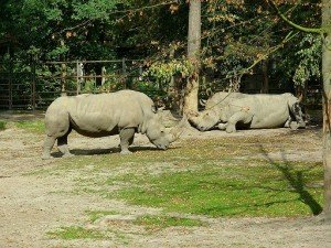 1024px-Nosorożec_biały_-_Ceratotherium_simum_-_White_Rhinoceros_-_Breitmaulnashorn_(5)
