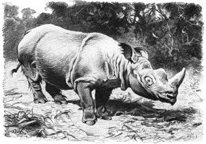 1024px-Rauhohr-Nashorn-drawing