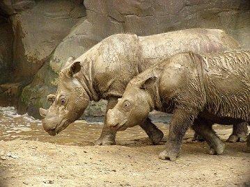 1024px-Sumatran_Rhino_2