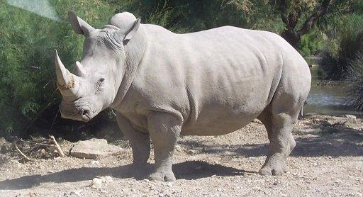 1280px-Rhinocéros_blanc_JHE