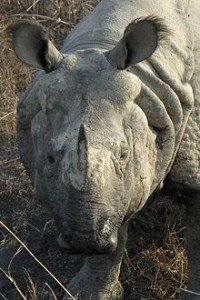220px-Rhinoceros_unicornis_(Panzernashorn)