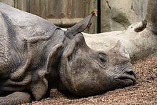 Indian_rhinoceros_in_San_Diego_Zoo