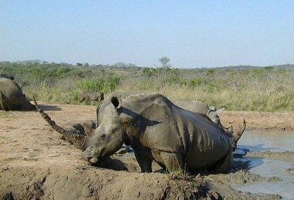 White_rhinoceros_Hluhluwe-Umfolozi