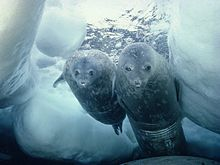 220px-Diving_weddell_seals