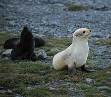 220px-Leucistic_Antarctic_Fur_Seal