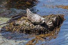 220px-Phoca_vitulina_(Habor_Seal),_Point_Lobos,_CA,_US_-_Diliff