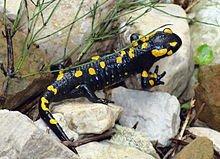 220px-Salamandre-monteaperta-07-10-10