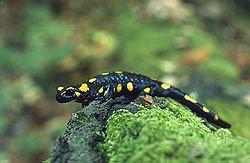 250px-Salamandra_salamandra_(Marek_Szczepanek)