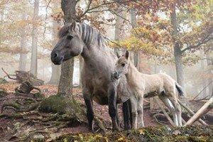 330px-Wildpferde_Tripsdrill2