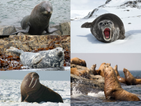 Pinniped_collage
