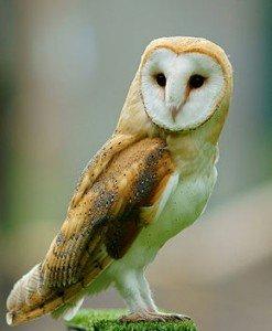 290px-Tyto_alba_-British_Wildlife_Centre,_Surrey,_England-8a_(1)