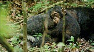 chimpanzs2-tt-width-604-height-340-bgcolor-000000