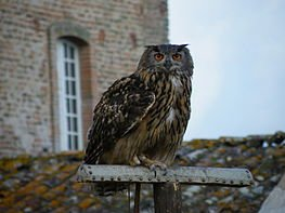 263px-Hibou_grand_duc