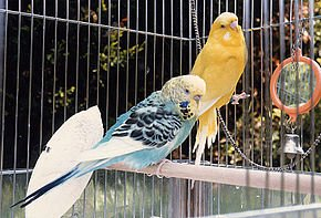 290px-Budgie.two.750pix