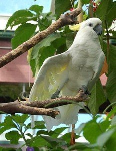 290px-Cacatua_galerita_-Victoria_Butterfly_Gardens-8a