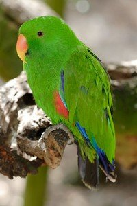 290px-Eclectus_Parrot_-_melbourne_zoo