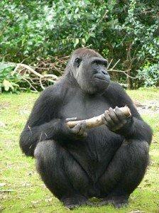 290px-Gorilla_gorilla_gorilla8