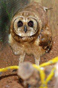 290px-Marsh_owl_(Asio_capensis)