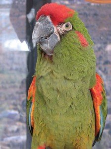 290px-Red-fronted_Macaw_Ara_rubrogenys_National_Aviary_2112px
