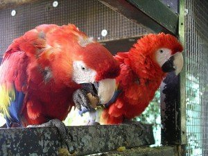 800px-Scarlet_macaw_eating_31l07