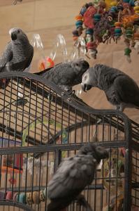 Psittacus_erithacus_-pet_parrots_-family-6a