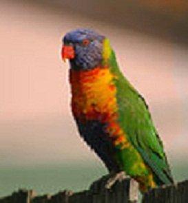 Rainbow_Lorikeet_(Trichoglossus_moluccanus)_on_fence,_Sydney