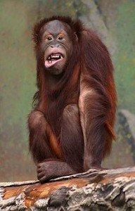 220px-Pongo_pygmaeus_(orangutang)