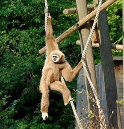 Gibbon_à_mains_blanches_(Zoo_de_Lille_Nord)