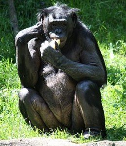 290px-Bonobo1_CincinnatiZoo