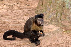 290px-Macaco-prego_Manduri_151207_15