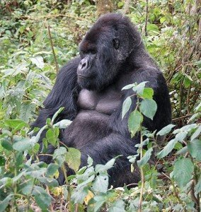 640px-Susa_group,_mountain_gorilla